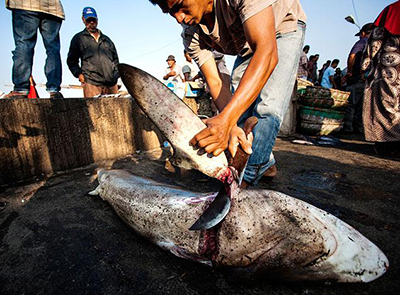 A shark fin trader slicing the fin off a shark
